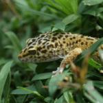 leopard gecko eggs dented