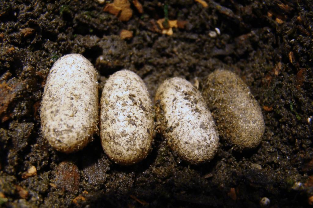 leopard gecko eggs fertile or infertile