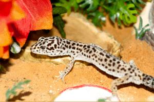 leopard gecko enrichment 1