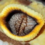 leopard gecko eye infection 1
