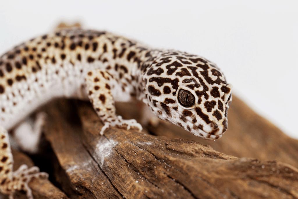 leopard gecko feeding schedule