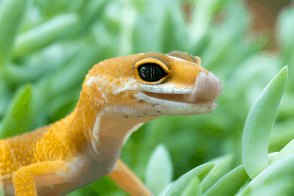 leopard gecko licking vent 1