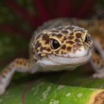 leopard gecko lighting 1