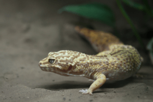 leopard gecko mouth rot 1