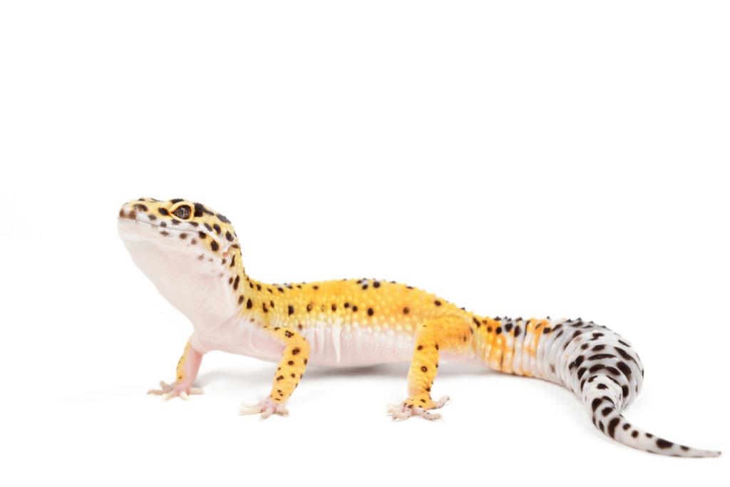 leopard gecko poop 1