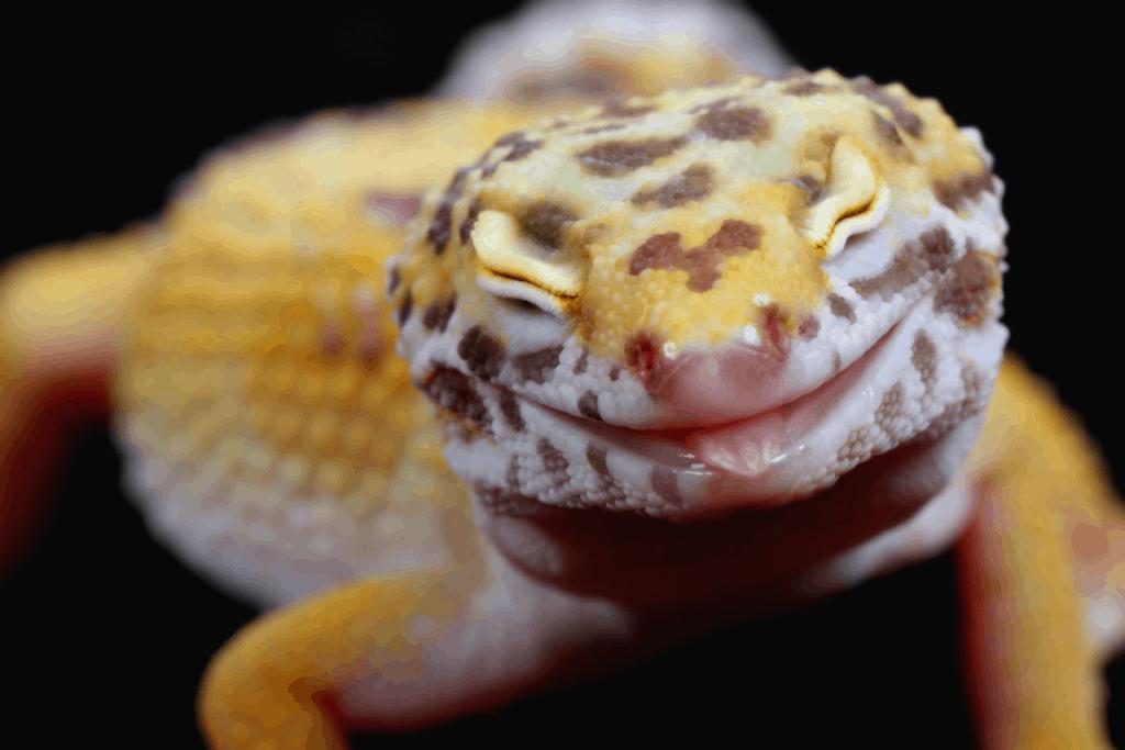 leopard gecko prolapse 1