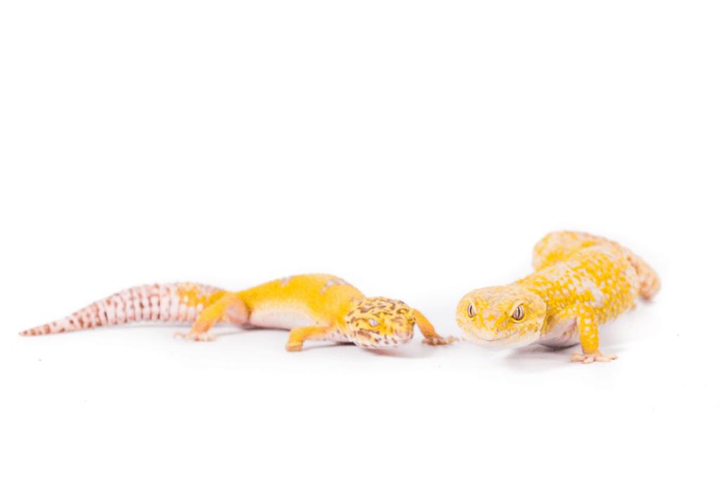 leopard gecko prolapse 2