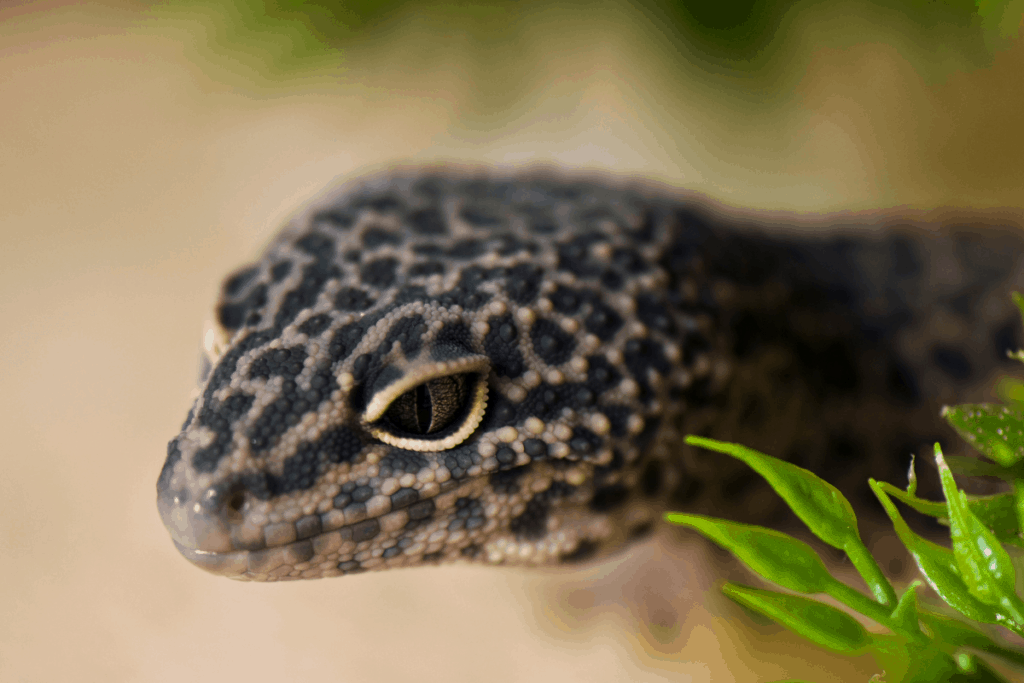 leopard gecko tank temp 1