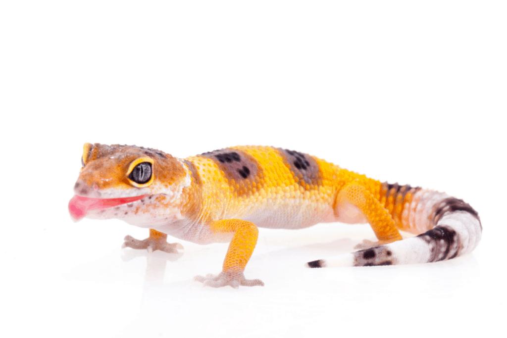 gecko léopard bâillement 1
