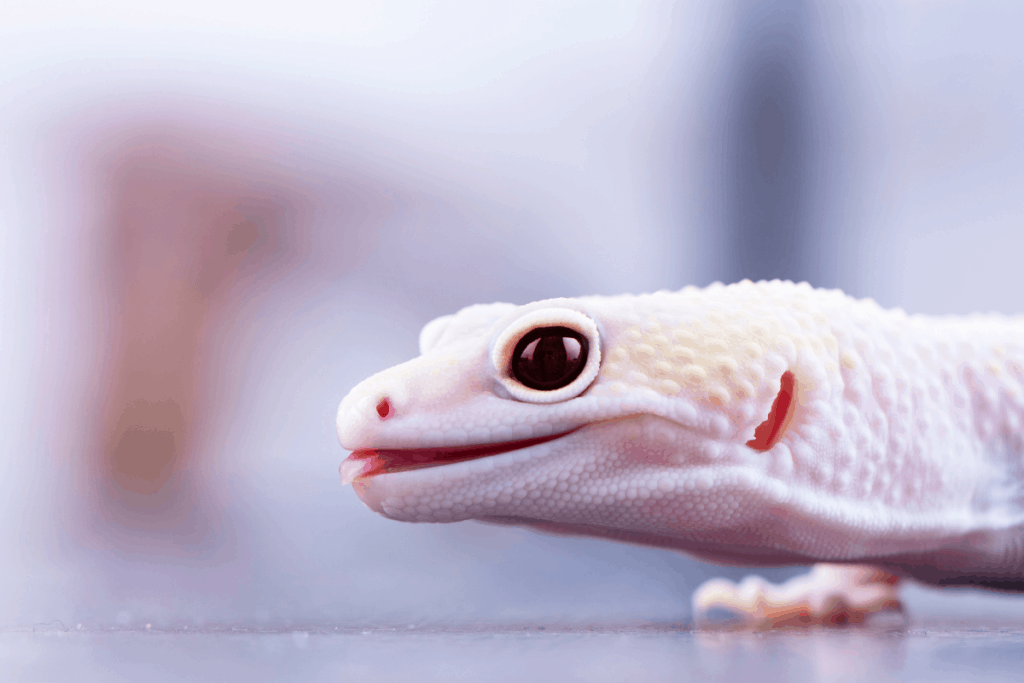 leopard geckos opening and closing mouth