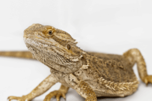 what does it mean when a bearded dragon waves 1