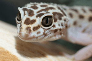 where can i sell my leopard gecko
