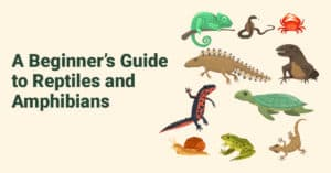 a beginner's guide to reptiles and amphibians