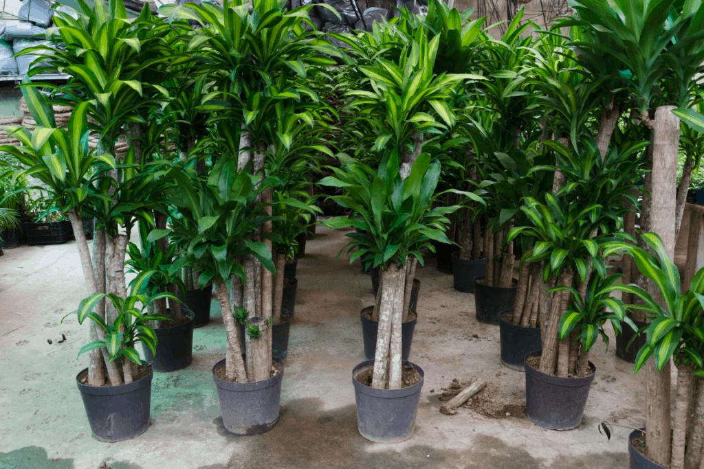 best plants for chameleons dracaena fragrans