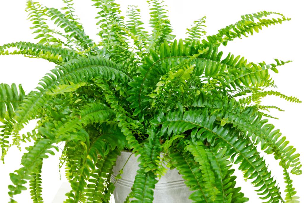 best plants for chameleons boston fern