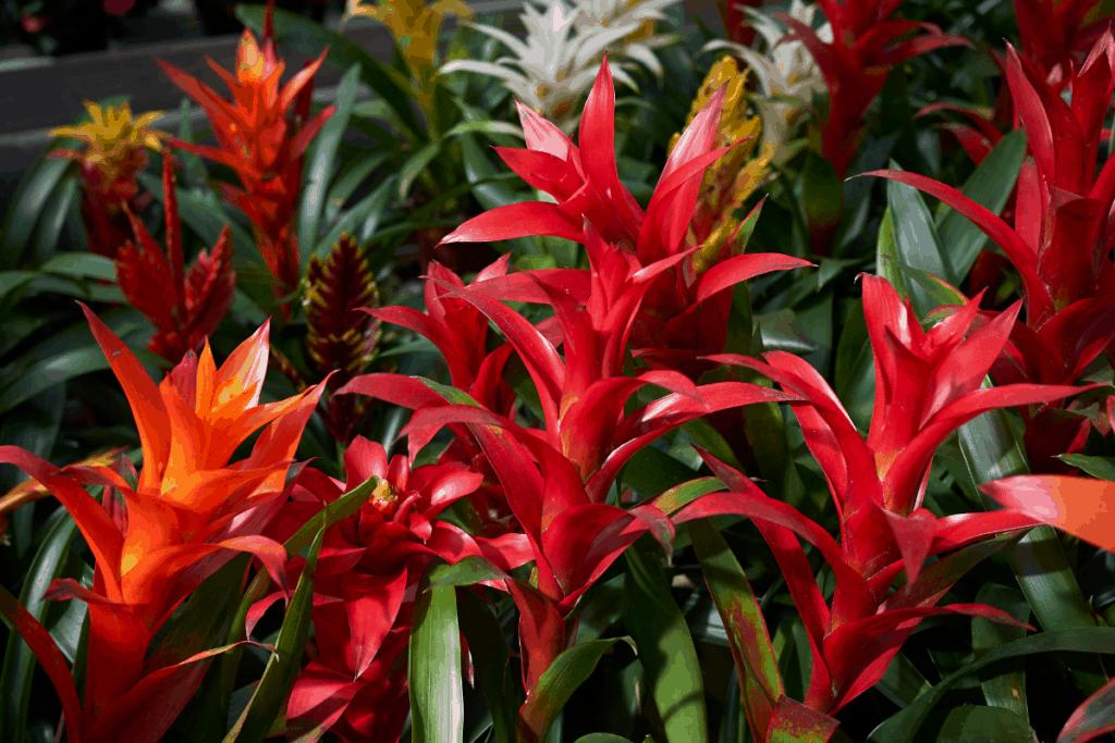 best plants for chameleons bromeliad