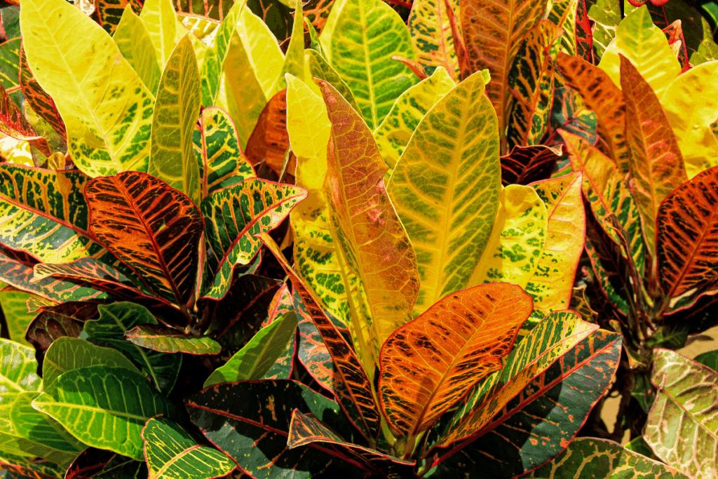 best plants for chameleons croton