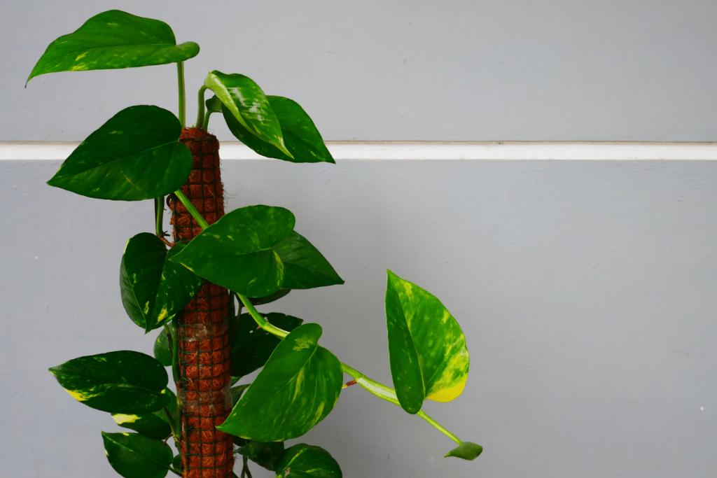 best plants for chameleons devils ivy