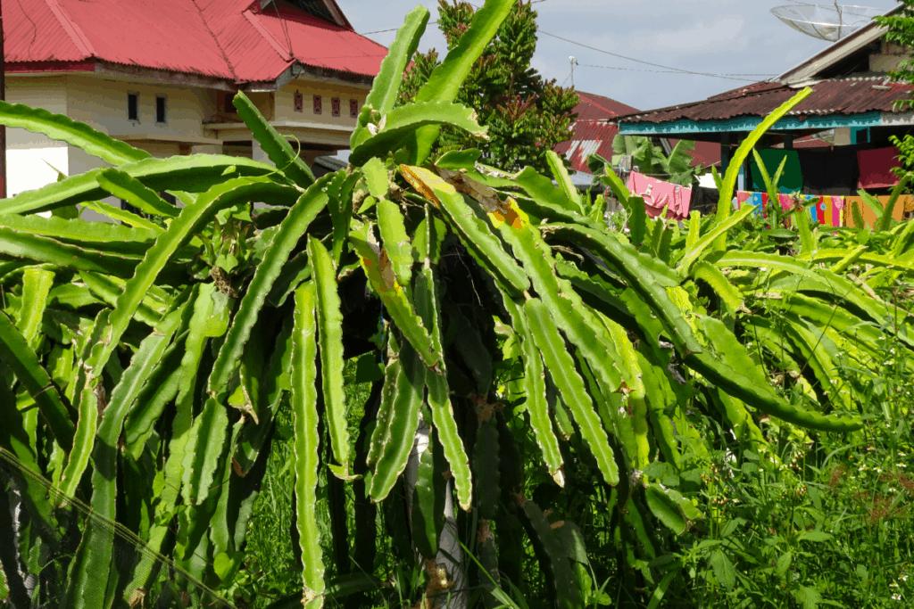best plants for chameleons dragon plant