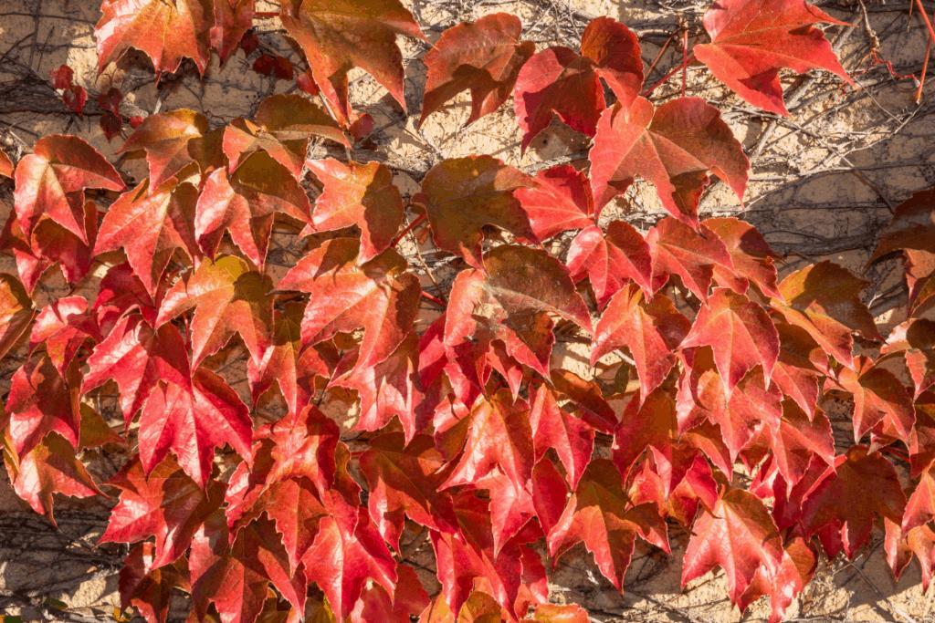 best plants for chameleons grape ivy