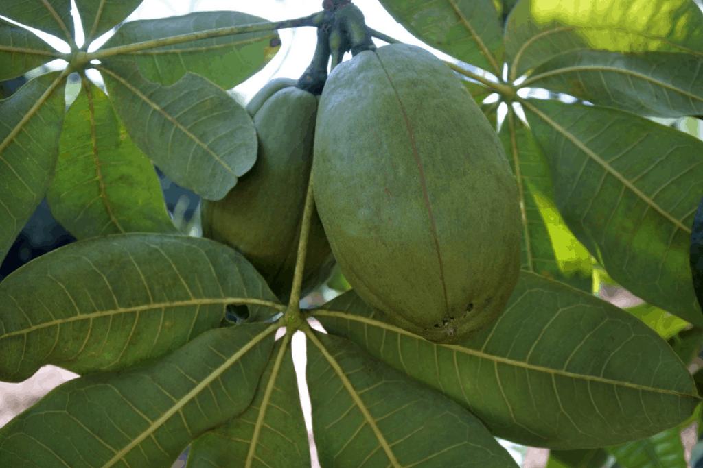best plants for chameleons guiana chestnut