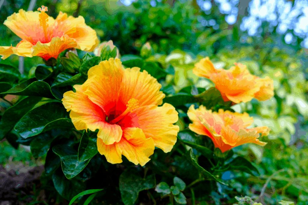 best plants for chameleons hibiscus