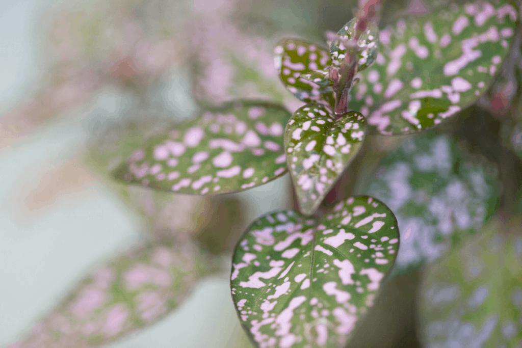 best plants for chameleons polka dot plant