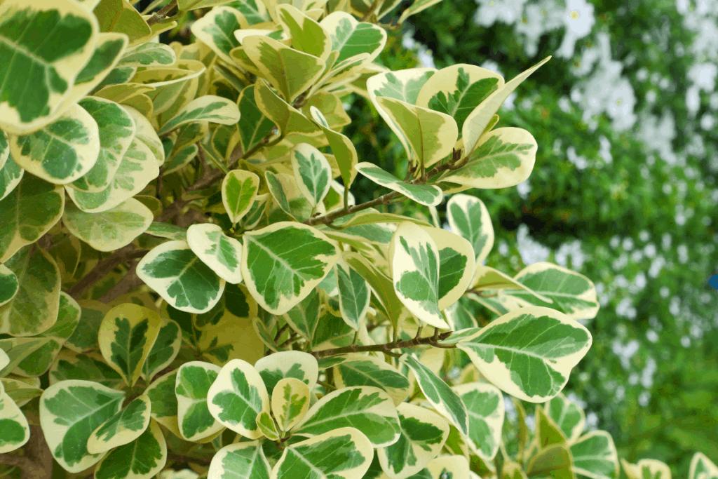 best plants for chameleons polka weeping fig