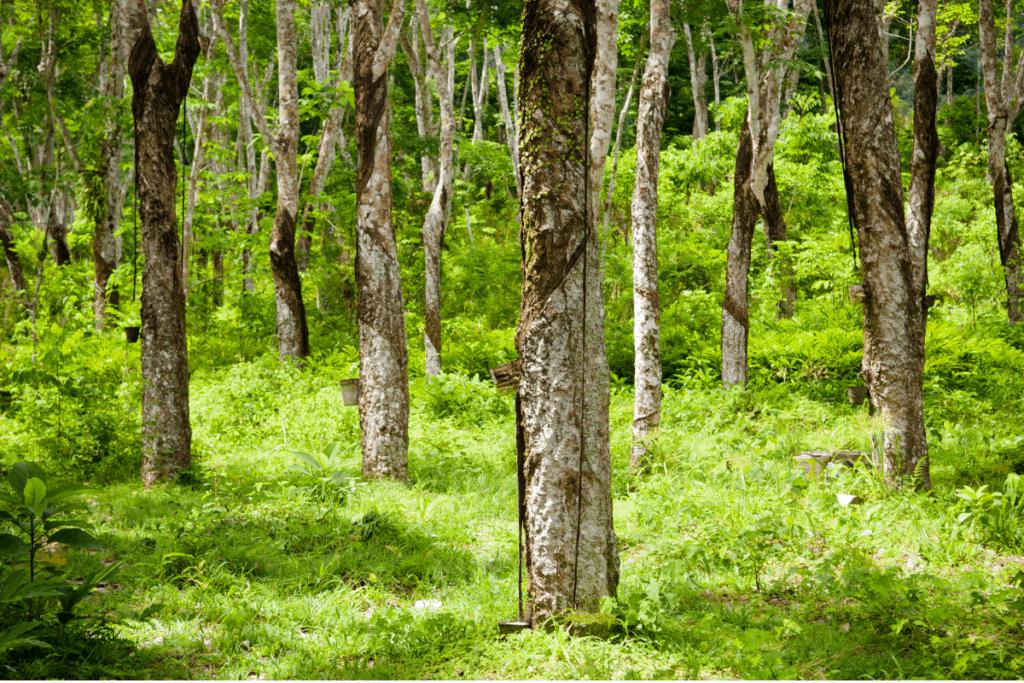 best plants for chameleons rubber tree