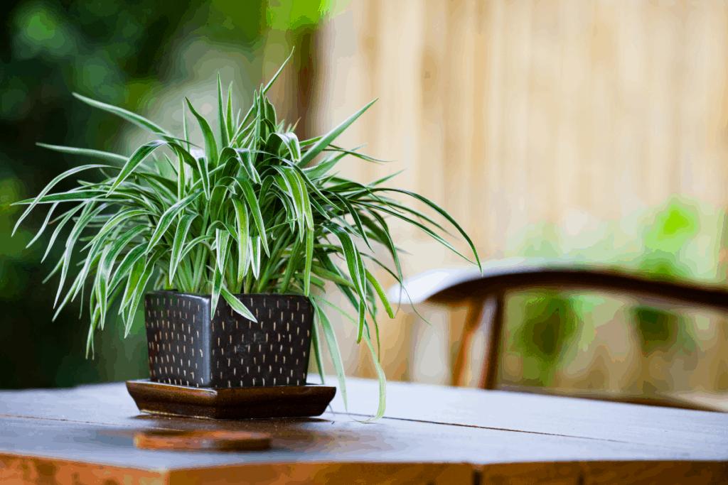 best plants for chameleons spider plant