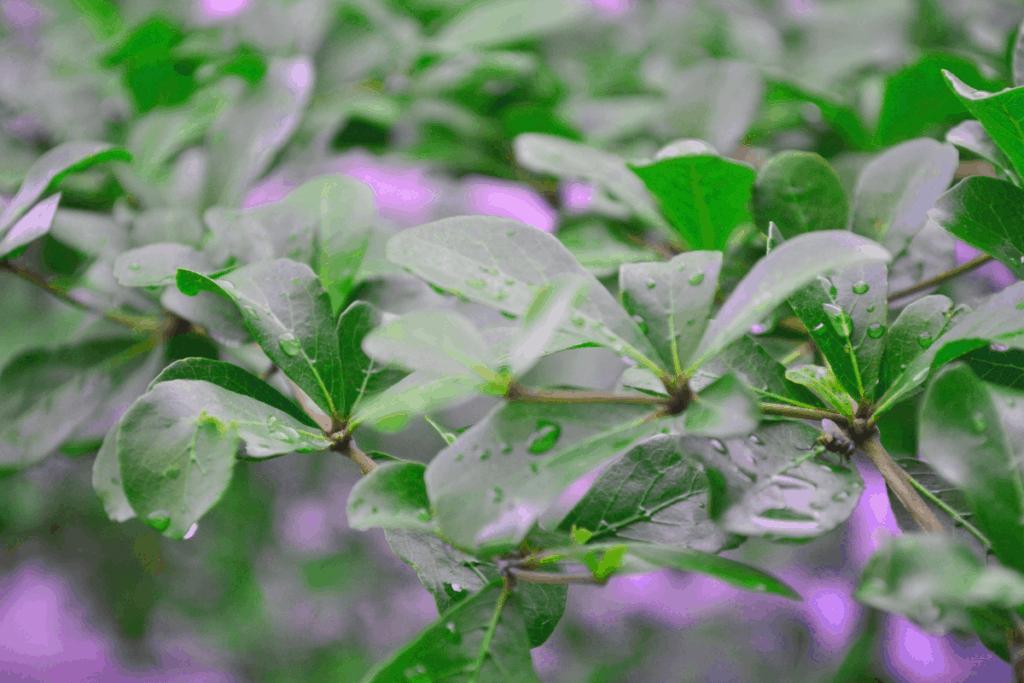 best plants for chameleons umbrella tree