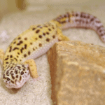 best substrate for leopard geckos 1