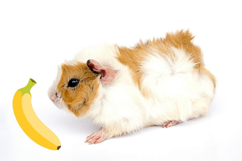 can guinea pig eat banana