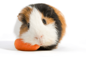 can i feed my guinea pig carrots