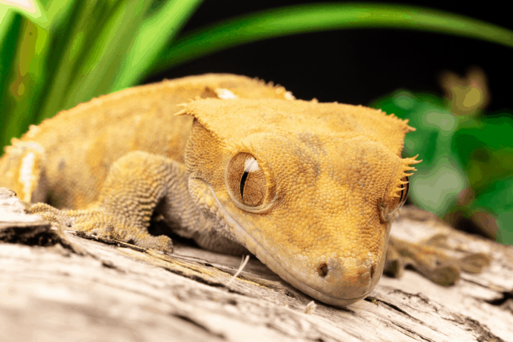 crested gecko lighting requirements 1