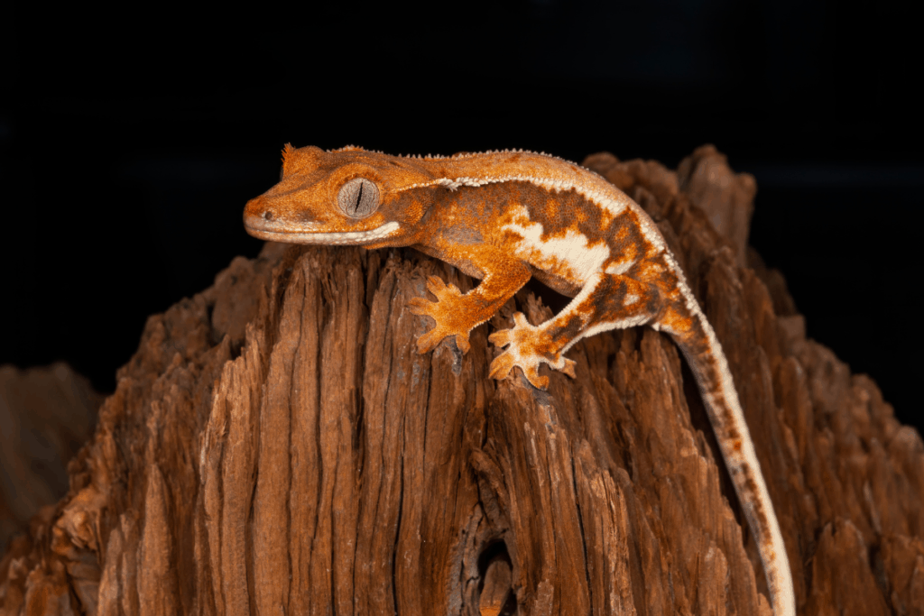 crested gecko lighting requirements 2