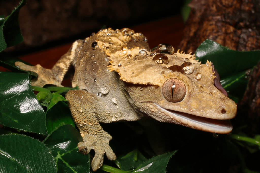 crested gecko lighting requirements 3