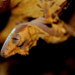 crested gecko poop 1