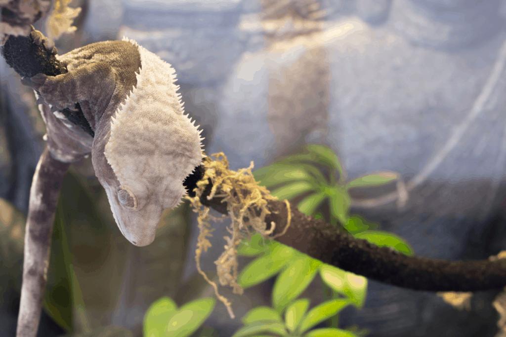 crested gecko poop 2