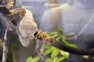 crested gecko seizure