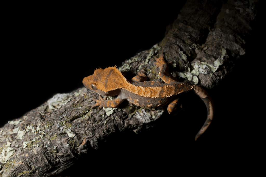 crested gecko sexing 1