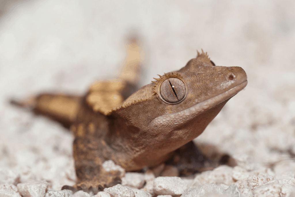 crested gecko sexing 2