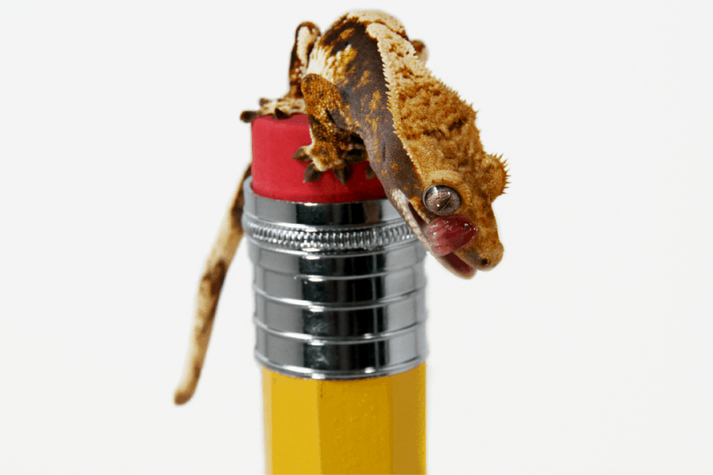 crested gecko size 1