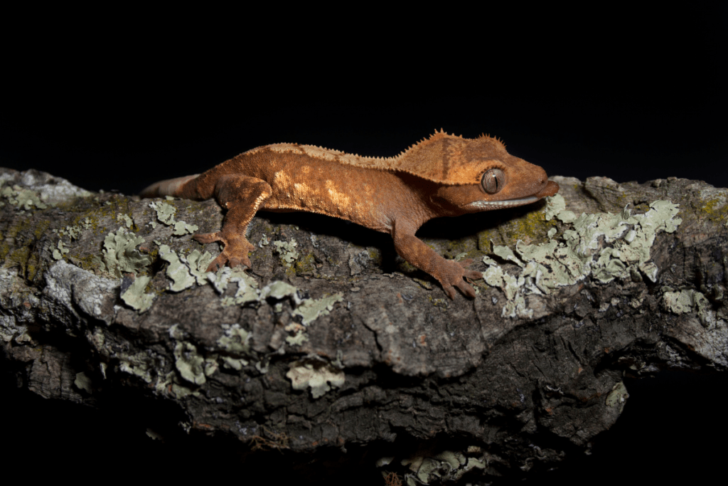 crested gecko size 2