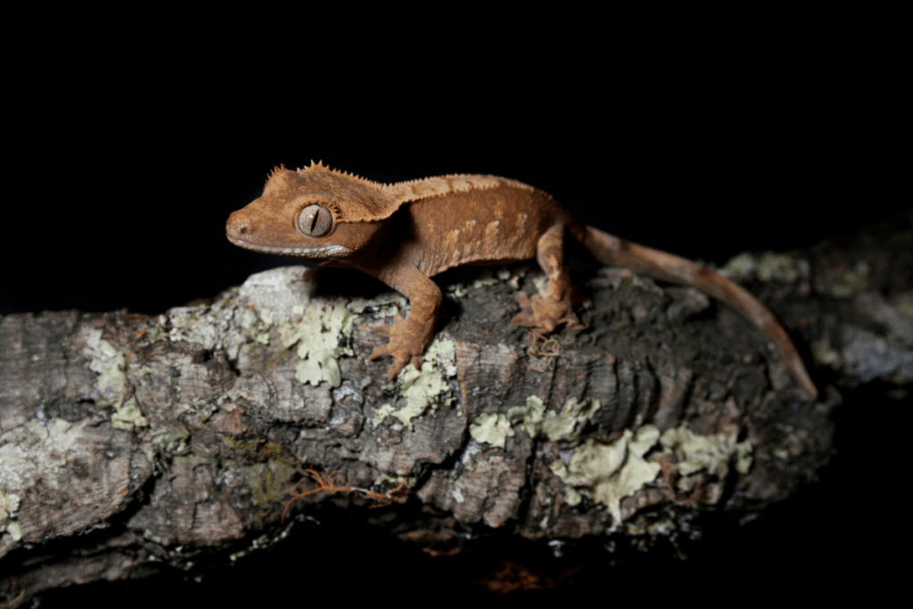 crested gecko sleeping habits 1