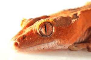 crested gecko stress signs 1