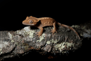 crested gecko swimming