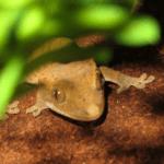 crested gecko temperature 1