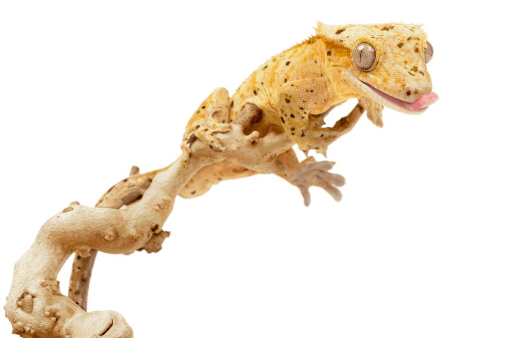 crested gecko temperature 2