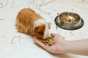 how long can a guinea pig go without food 1